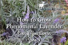 How to grow lavender guide, including which varieties are suitable for harsh winter conditions, with exceptional fragrance and flower production.