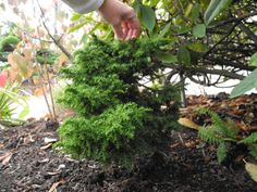 """Tansu Cryptomeria japonica in the next phase of our miniature garden. It was planted last fall and is now ready to be developed into the scene. We'll start with some """"bedding plants"""" and a patio area and go where it takes us."""