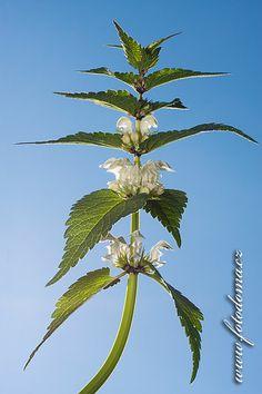 Hluchavka bílá (Lamium album) Edible Wild Plants, Wild Edibles, Plant Leaves, Album, Card Book
