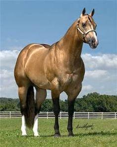 Buckskin aqha stallion