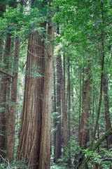 At Muir Woods near San Francisco, you can see a redwood forest, but it can be annoyingly crowded if you go at the wrong time - and you may be disappointed if you were looking for those big, wide trees you've seen in photos. This guide will help you avoid the crowds, know what to expect and where to go if you're looking for something else.