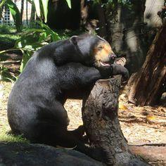 いいね!563件、コメント2件 ― Perth Zooさん(@perthzoo)のInstagramアカウント: 「They may enjoy napping & sunbathing but Sun Bears do not hibernate like other bears! This is…」
