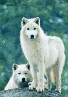 Awesome White Wolves  via FB page~~ The Amazing Wild Nature