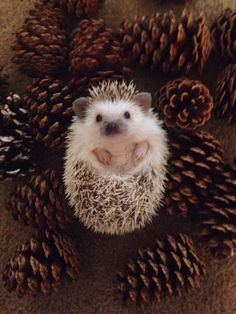 We've gathered our favorite ideas for Cute Hedgehog Baby Hedgehog Pinte, Explore our list of popular images of Cute Hedgehog Baby Hedgehog Pinte. Cute Creatures, Beautiful Creatures, Animals Beautiful, Hedgehog Pet, Cute Hedgehog, Animals And Pets, Funny Animals, Wild Animals, Animals Images