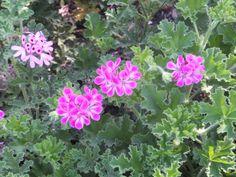 Scented Geranium-Desert Botanical Garden