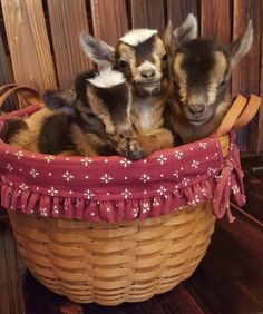 3 goats in a basket