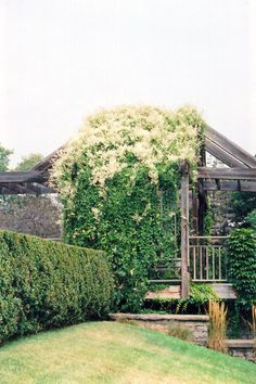 Click to view full-size photo of Silver Lace Vine (Polygonum aubertii) at The Growing Place