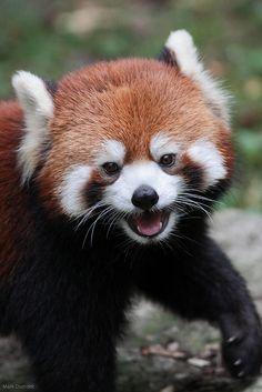 Red Panda @ Cincinnati Zoo & Botanical Garden