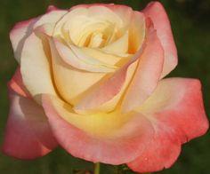 Anneli van Rooyen | Ludwigs Roses - Ludwig's has some beautiful rose varieties!  I soooooo need some for my garden!