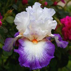 TB Iris 'Nouvelle Vague' (Cayeux, 2011)