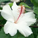 http://www.hiddenvalleyhibiscus.com/misc/history.htm