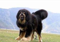 Tibetan Mastiff. Next dog maybe ?? Way down the line.