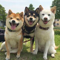 Nice Shiba Inu trio. #shibainu