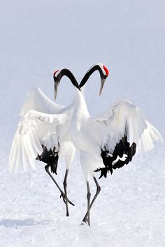 very elegant Japanese cranes - dances gracefully in the stunning snow-covered landscape in Japan