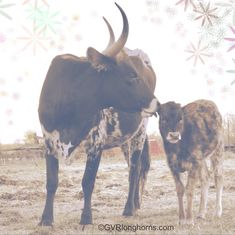"""Merry Christmas from our family to yours. """"I will honor Christmas in my heart and try to keep it all the year."""" #charlesdickens Cows For Sale, Cattle For Sale, Longhorn Cow, Longhorn Cattle, Cow Photos, Pictures, Calves For Sale, Green Valley Ranch, Raising Cattle"""