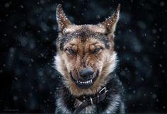 kızgın köpek