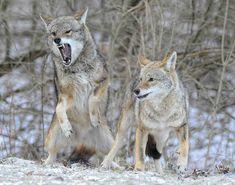 Battling Coyotes 11 by ssvalina, via Flickr Battling Coyotes 11 by ssvalina, via Flickr #tattoo #mentattoo #womentattoo #dogtattoo #tattoos #tattoolife #tattoogirls #tattoosketch #tattooink #tattooideas #tattoodiy Predator Hunting, Coyote Hunting, Pheasant Hunting, Archery Hunting, Baby Wolves, Red Wolves, Coyote Trapping, Coyotes, Animals And Pets