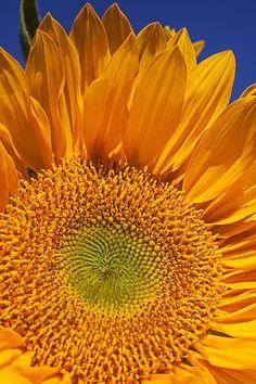 ✯ Sunflower Petals Close Up