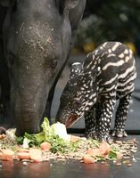 """Belfast Zoo's recent baby boom has continued with the birth of Marjorie, the Malayan Tapir. Marjorie was born on March 4 to parents Gladys and Elmer. Zoo Curator Andrew Hope said, """"Malayan tapirs are a beautiful but slightly unusual looking..."""