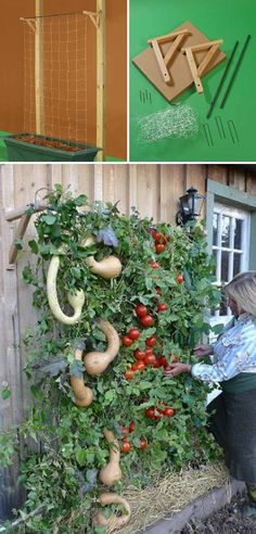This trellis kit is perfect for a vertical tomato garden. Built one and you have many, many pounds of tomatoes hanging on there