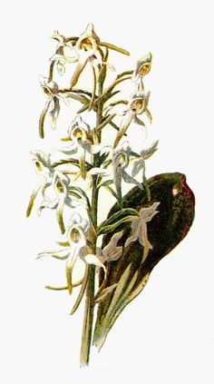 Free Digital Flower Graphic: Clip Art of Wildflower Butterfly Orchis