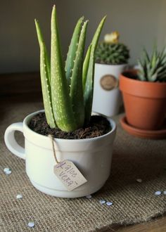 aloe vera-une plante qui demande très peu d'eau et d'entretien - plantes intérieure