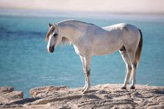 Beautiful horse, but look at that water! Horse on the seaside cliff. PRE. Claudia Rahlmeier -