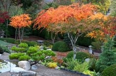 pruned sango kaku | Black pine and colorful 'Sango kaku' Japanese maples | Gwil Evans