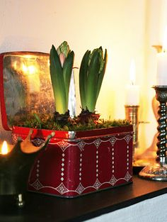 Forced bulbs in vintage tin - Lovely at Christmas and Easter.
