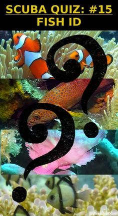 SCUBA QUIZ: #15: Identify these Fish Species!  You think you know something about marine life? Test your knowledge and impress your dive buddies! Learn to identify more fish. No need for scientific names, just keep it simple. Fun and easy! http://www.diveoclock.com/quiz/15_Fish_ID/ underwater | ocean | sea life | diving | coral reef |  dive the world | scuba diver | dive instructor | underwater photography | duiken | tauchen | under the sea  | macro | marine conservation