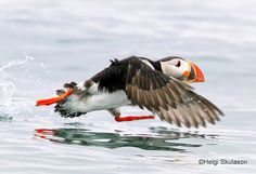 """I would go faster in sneekers"" by Helgi Skulason.     The picture quality is not the best but I just love the moment.  Unlike most birds the puffin has solid bones. That is to stand the pressure when diving very deep. This makes them more heavy and harder to take off, espcially in calm weather. So the first part of the flight is actually a searun. Doing this he has to flap his wings up to 6 times á second."