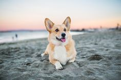 Corgi on the Beach