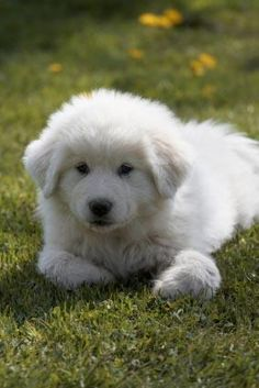Great Pyrenees Puppy-a little LaceyLou. Oh , so sweet but this dog can enjoy the swimming a little too much.
