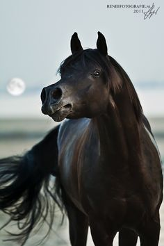 Black Arabian with proud high held head and attentive eyes. Very pretty face. Gorgeous horse photography. Moon or sun in background.. Please also visit www.JustForYouProphetic Art.com for colorful inspirational Art. Thank you so much! Blessings!