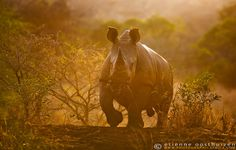 Africa | 'Golden Rhino'.  Mapungubwe, South Africa | © Etienne Oosthuizen