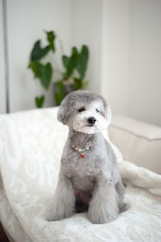 #toypoodle #silverpoodle #haircut nice bootcut legs♡