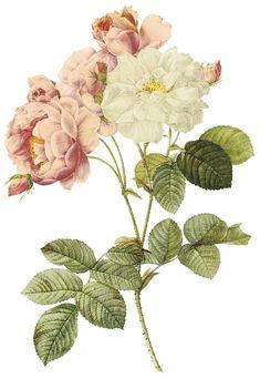 Vintage Damask Rose botanical print                                                                                                                                                                                 More                                                                                                                                                                                 More