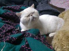 PERSIAN EXOTIC SHORTHAIR CAT