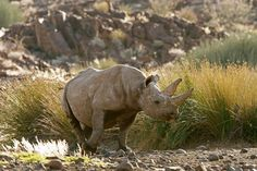Black Rhino at Desert Rhino Camp, Palmwag, Damaraland, Namibia