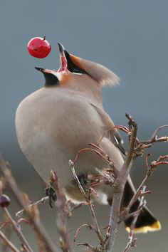 Bohemian Waxwing eating a berry.