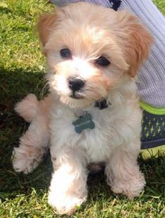 Malteagle Beagle / Maltese This one! I need this one