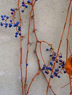 blue berries on orange stalk photo bruce grant