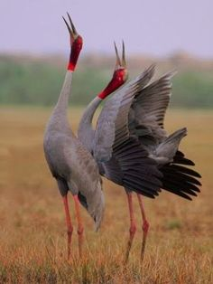 The sarus crane is a large non-migratory crane found in parts of the Indian Subcontinent, Southeast Asia and Australia. The tallest. Pretty Birds, Beautiful Birds, Animals Beautiful, Cute Animals, Wild Animals, Baby Animals, Kinds Of Birds, All Birds, Love Birds