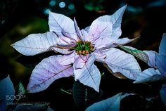 Poinsettia white by justiceedinf