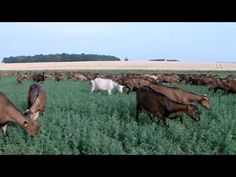 Lélevage de chèvres | Soignon  In French but #goatvet says great video of French Alpines - both grazing and in barns