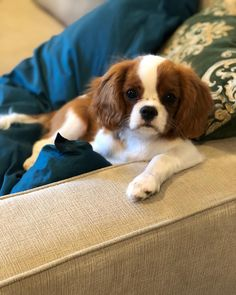 6 Ways To Chill With Your Dog On National Relaxation Day King Charles Puppy, Cavalier King Charles Dog, King Charles Spaniel, Cute Dog Pictures, Dog Photos, Cute Puppies, Cute Dogs, Mini Dogs, Spaniel Puppies