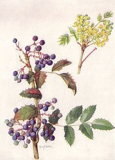 """[ Art: OREGON GRAPE (Echinocereus fendleri [Engelm.] Ruempl.). Painting by Mary E. Eaton ] Source: —, ed., """"Our State Flowers: The Floral Emblems Chosen by the Commonwealths, The National Geographic Magazine, XXXI (June 1917), p. 515. Wikimedia Illustration Botanique, Plant Illustration, Vintage Botanical Prints, Botanical Drawings, Botanical Flowers, Botanical Art, Grape Drawing, Impressions Botaniques, Oregon Grape"""