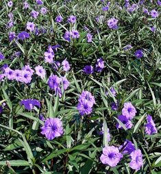 Mexican Petunia 'Purple Showers'--beautiful flowers, attracts bees, but highly invasive---will take over and kill anything planted near it
