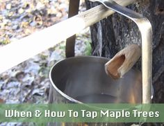 When-And-How-To-Tap-Maple-Trees