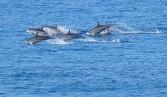 Dolphins Frolicking in Coastal Waters of Kailua Kona, Hawaii